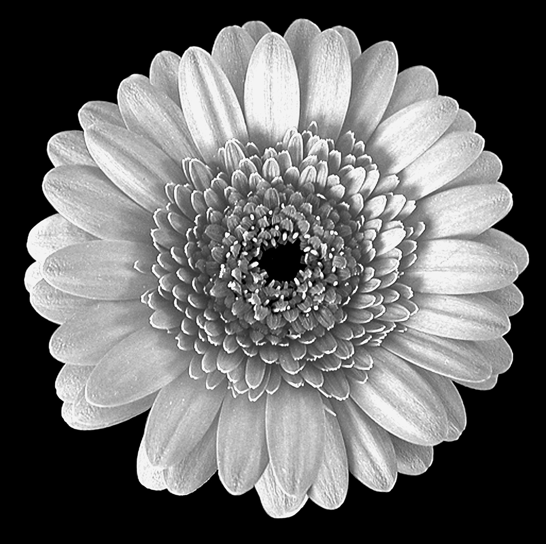 White-Gerbera-Thumbnail